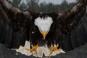 In Battle with Government Drone, Bald Eagle Comes Away Victorious